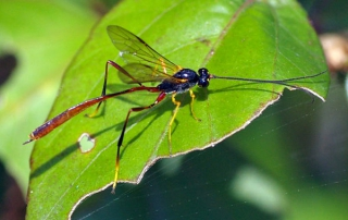 Gasteruptiid Wasps