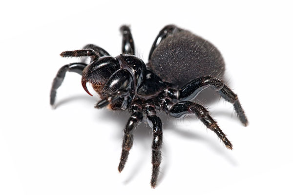 Mouse spider