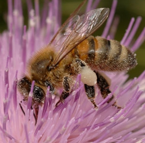 European honey bees