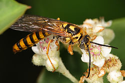 flower wasps