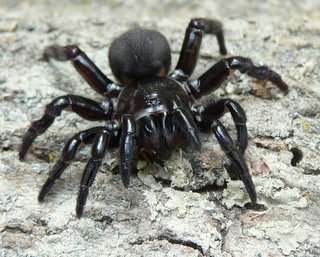 female funnel web