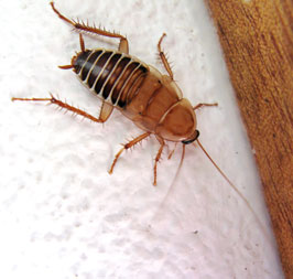 Termopsidae