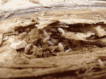 termites-eating-deck-wood