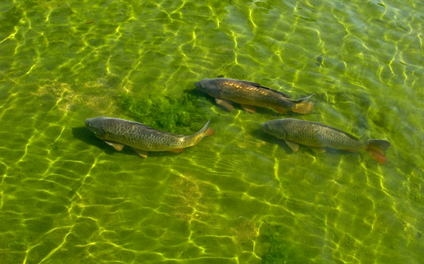 Australia will use the herpes virus to eradicate its out-of-control carp population