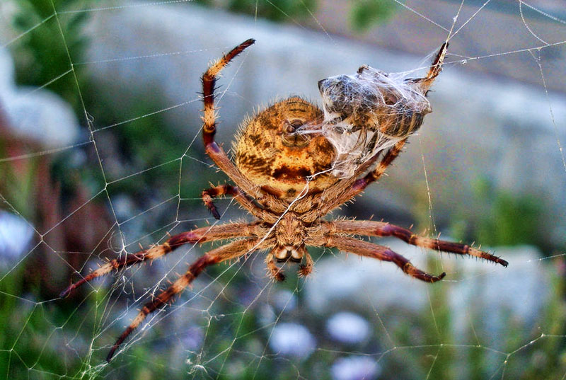 Spiders in Australia Common Garden orb Weaver Spider ecologistics