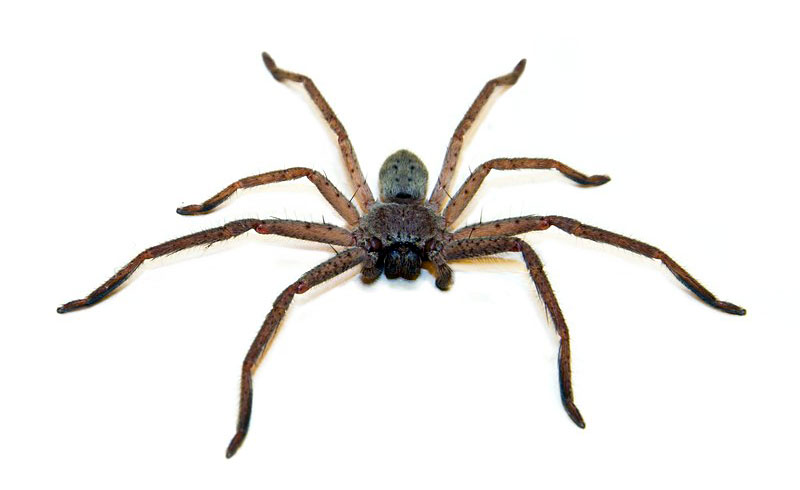 Spiders in Australia - The Huntsman - ecologistics