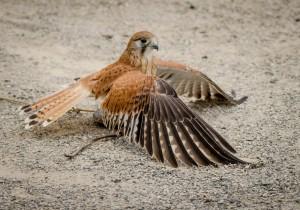 Falco cenchroides
