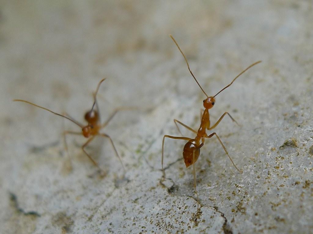 The invasive yellow crazy ant